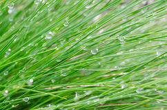 Green grass with water drops. Close up to green grass with water drops Royalty Free Stock Images