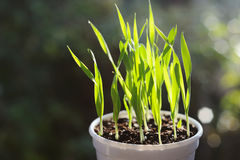 Green grass with water drops in flower pot Royalty Free Stock Photo