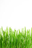 Green Grass with water drops Isolated on White Background Stock Photo