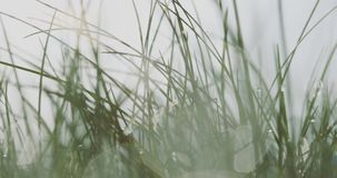 Green grass in dew. Green grass with water drops from morning dew. Summer meadow stock footage