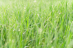 Green grass with water drops  - nature concept Stock Photo