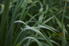 Green grass with water drops after a rainshower stock photography