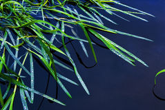 The green grass on a water smooth surface Royalty Free Stock Photography
