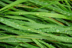 Green Grass wet. Long green grass with raindrops on it Stock Photo