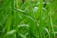 Green Grass wet. Long green grass with raindrops on it Stock Image
