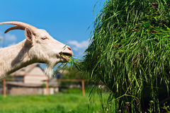 Green grass in wheelbarrow with white goat Royalty Free Stock Images