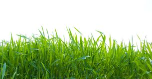 Green grass on white Royalty Free Stock Photography