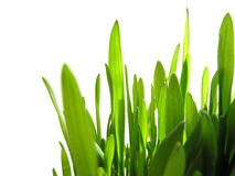 Green grass on white Stock Photography