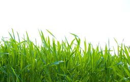 Green grass on white. Isolated green grass on white background Stock Image