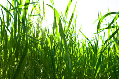 Green grass on a white background Stock Images