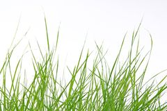 Green grass on white background. Green grass isolated on white background Stock Image