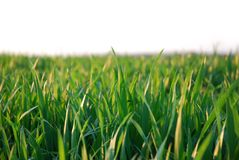 Green grass, white background royalty free stock photography