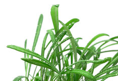 Green grass  on a white background Royalty Free Stock Image