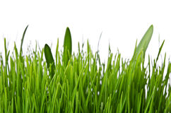 Green grass on white background Stock Images