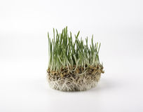 Green grass on a white background Stock Photos