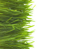 Green grass on white background Royalty Free Stock Images