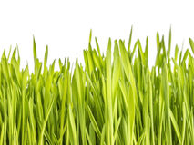 Green grass on white background. Royalty Free Stock Photography