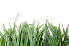 Green grass on a white background Stock Image