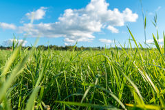 Green grass and white clouds Royalty Free Stock Photo