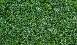Green grass and white clover Royalty Free Stock Photo