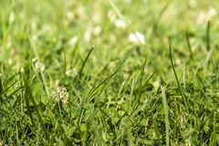 Green grass with white clover blossom Trifolium repens.  Stock Images
