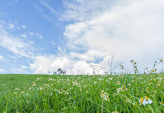 Green grass and  White Daisies Royalty Free Stock Photos