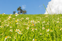 Green grass and  White Daisies Stock Photography