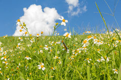 Green grass and  White Daisies Royalty Free Stock Images