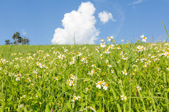 Green grass and  White Daisies Royalty Free Stock Photo