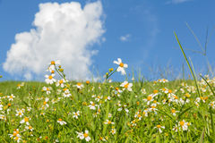 Green grass and  White Daisies Royalty Free Stock Photography