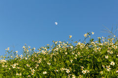Green grass and  White Daisies Stock Image