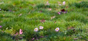 Green grass with white daisies. Nature, abstract, wallpaper , sunny, spring royalty free stock photo