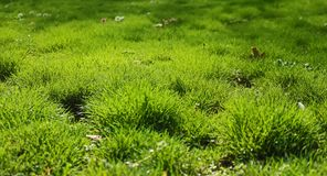 Green grass with white daisies. Nature, abstract, wallpaper , sunny, spring royalty free stock image