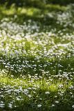 Green grass with white daisy flowers. In full Spring bloom Stock Photo