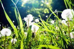 Green grass with white dandelions closeup. Closeup of bright spring green grass with white dandelions in the sun rays stock photography