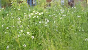 Green Grass with White Dandelions. Soft focus close-up shot Royalty Free Stock Image