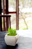 Green grass in a white flowerpot on summer, spring background Royalty Free Stock Photos