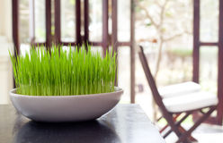 Green grass in a white flowerpot on summer, spring background Royalty Free Stock Image