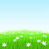 Green grass with white flowers. Illustration of Green grass with white flowers Stock Images