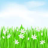 Green grass with white flowers. Spring Greeting Card Royalty Free Stock Image