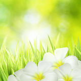 Green grass and white flowers Royalty Free Stock Photo