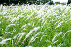 Green grass with white flowers Stock Images