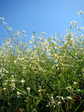 Green grass and white flowers. On a field against blue sky Stock Photos