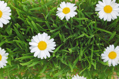 Green grass and white flowers Stock Photography