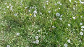 White Dandelion Flowers. In the green grass white flowers dandelion stock footage