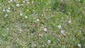 White Dandelion Flowers. In the green grass white flowers dandelion stock video footage