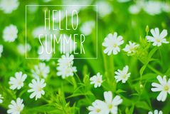 Green grass and white flowers. In the nature royalty free stock photo