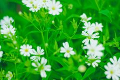 Green grass and white flowers. In the nature Royalty Free Stock Photos