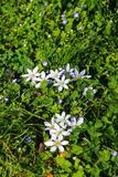 Green grass with white flowers. Nature, abstract, wallpaper , sunny, spring royalty free stock images
