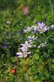 Green grass with white flowers. Nature, abstract, wallpaper , sunny, spring stock photography